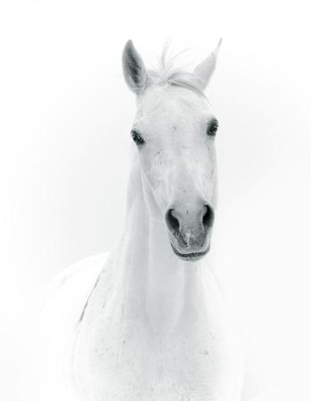arabian horse: white horse