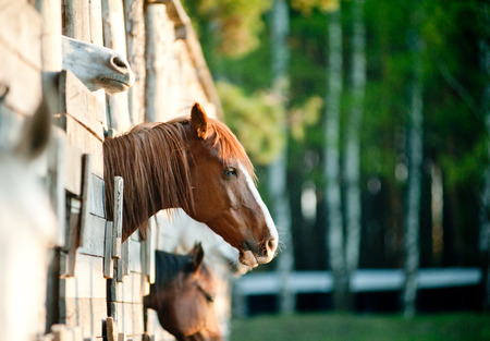 horse stable: horses in early morning Stock Photo