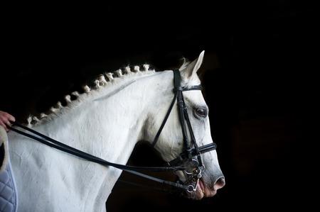 girth: rider on white arab