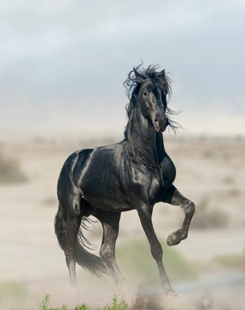 zwarte hengst Stockfoto