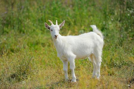 かわいい若い白ヤギ
