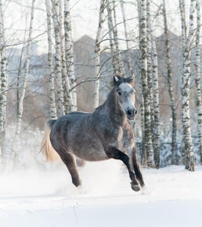 arabian horse: horse in winter