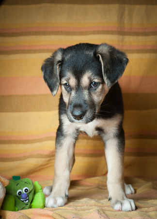 beagle mix: puppy and toy Stock Photo