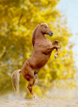 horse rears, autumn