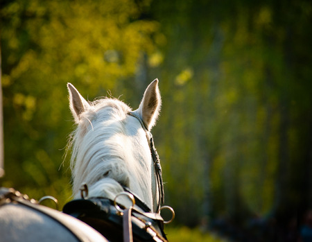 blinkers: horse closeup in harness