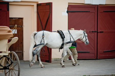 lipizzaner: horse on stable after work