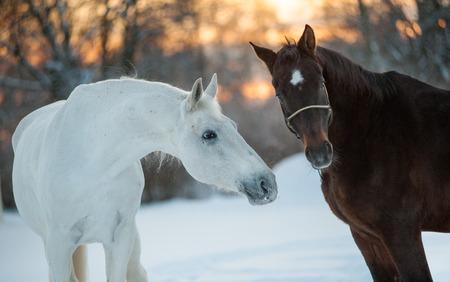 communicating: horses communicating in winter