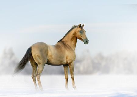 buckskin horse: horse in winter fog