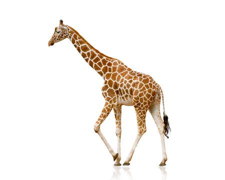 Giraffe geïsoleerd op wit Stockfoto