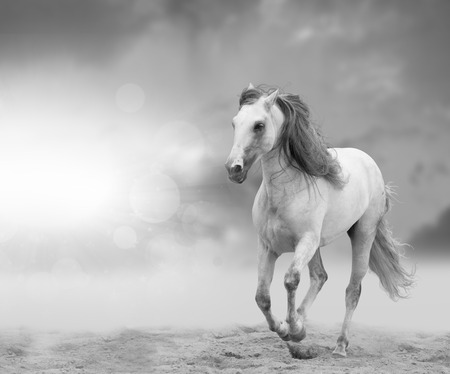 andalusian: white andalusian stallion