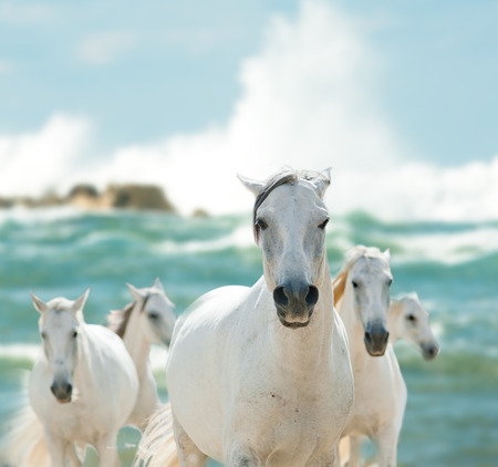 running horses: white horses on the sea Stock Photo