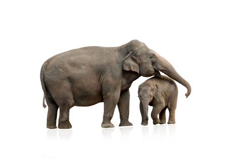 Elephant female with baby isolated