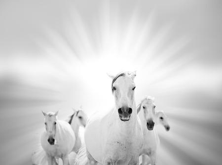 lipizzaner: white horses on the sea Stock Photo