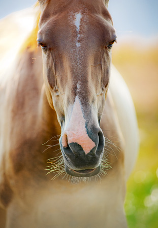 akhal teke: horse closeup