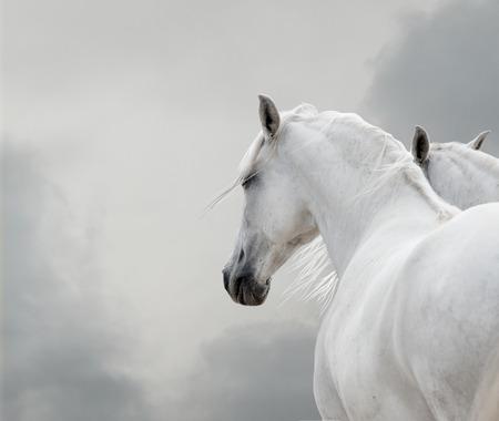 running horses: white horses in storm Stock Photo