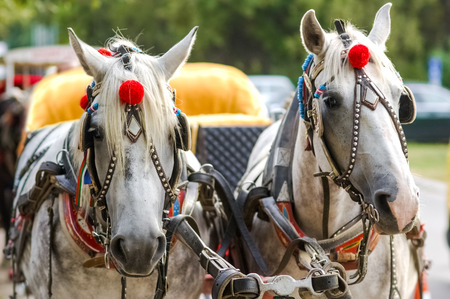 blinkers: Horses in carriage Stock Photo