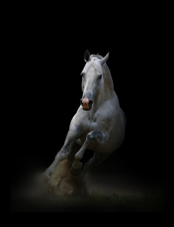 horse racing: Silver-white thoroughbred stallion running from darkness in the dust Stock Photo