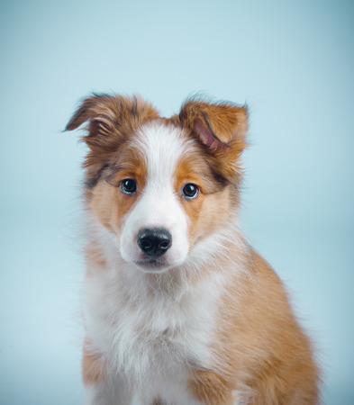 border collie puppy: cute border collie puppy