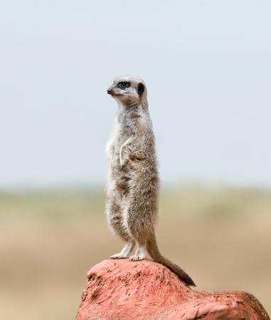 suricate: Alert Suricate or Meerkat