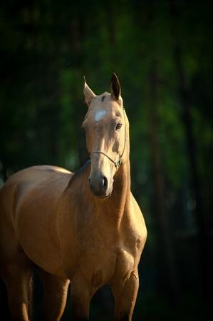 dun: Portrait of a thoroughbred akhal-teke stallion in summer