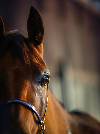 Detail van Arabische paard in de stal Stockfoto