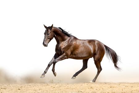 akhal teke: horse on a white Stock Photo