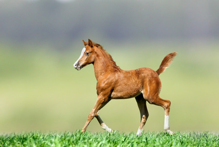horses in field: foal on nature