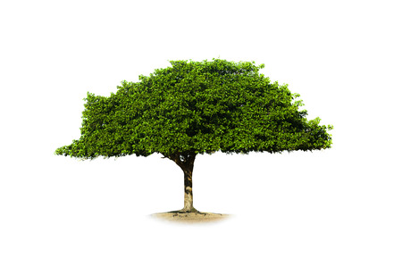 tropical forest: tree isolated over a white background Stock Photo
