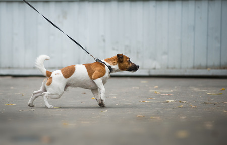 Jack russel terrier pulls the leash forward in a walk Imagens