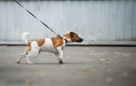 Jack Russel Terrier trekt de riem naar voren in een wandeling