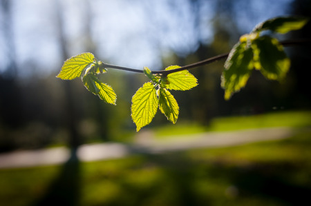 raod: Green fresh leaves blooming in sunset light in forest Stock Photo