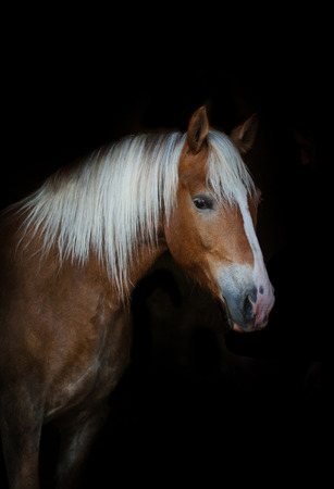 palomino: Cute palomino horse portrait on a black background Stock Photo