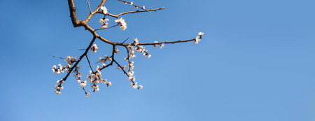 青空: Branch of blooming sakura in spring time over a blue sky background