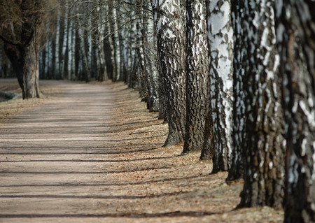 Row of birch trees in the park, perspective view