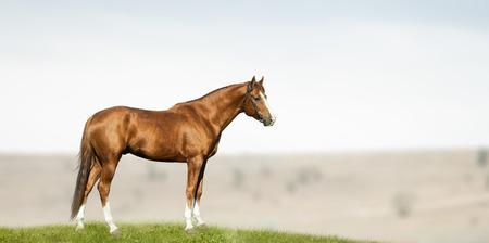 purebred chestnut stallion standing in field 스톡 콘텐츠