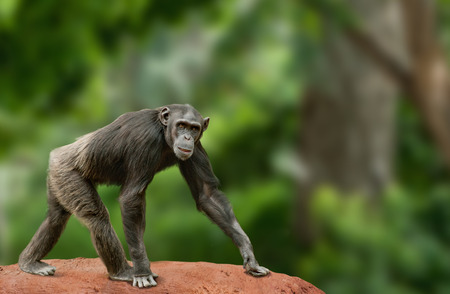anthropoid: Ape chimpanzee female looking at camera, walking over a white background Stock Photo