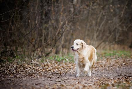 retreiver: Golden retreiver girl on a walk in autumn park