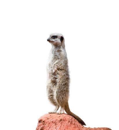 suricatta: Alert Suricate or meerkat over a white background