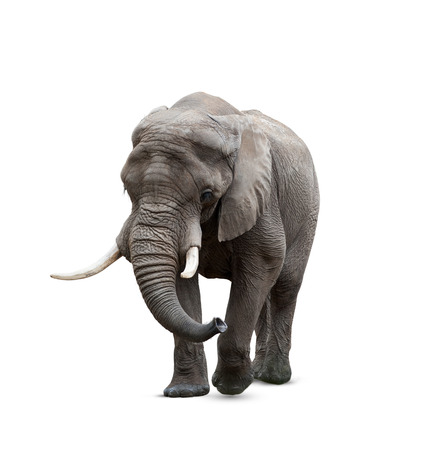 African elephant male solated on white