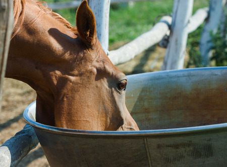 agruculture: Arabian horse drinking close up from drinking bowl