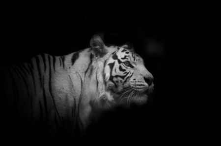 aggresive: young white tiger male over a black background in monochrome tones