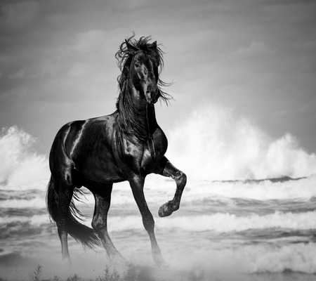 caballo: semental negro por la orilla del mar en la naturaleza