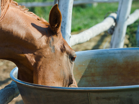 agruculture: Chestnut arabian mare drinking from a drinking bowl, in paddock