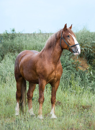 draft horse: Big young draft chestnut stallion standing outside the stable