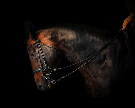 halter: Purebred dressage stallion working in the dark