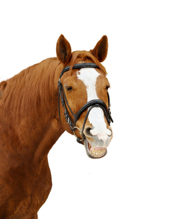Chestnut purebred horse in bridle smiling isolated over a white