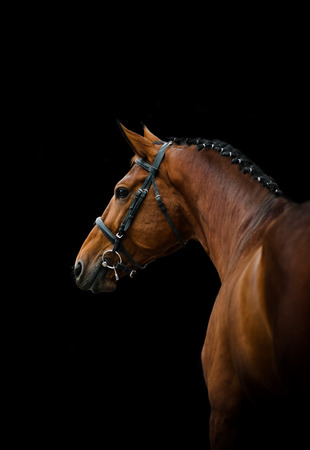 horse competition: Bay thoroughbred dressage horse over a black background