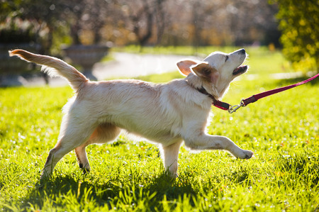 golden retriever puppy: Golden retriever puppy walking in a park Stock Photo