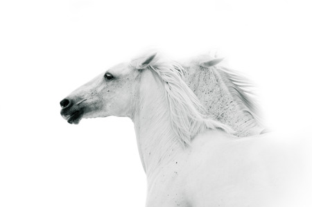 running white horses in monochrome colors Stock Photo