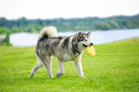 pampered pets: alaskan malamute with frisby disk in his mouth Stock Photo